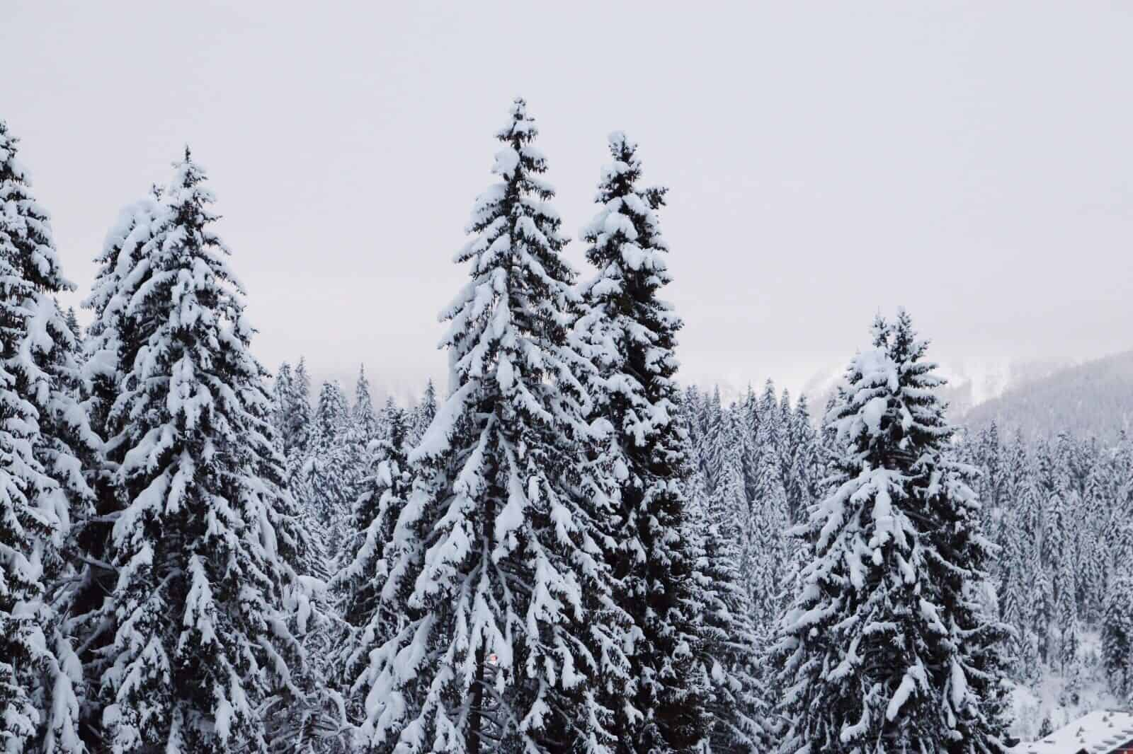 Is the Noble Fir still noble? The true cost of our Christmas trees ...
