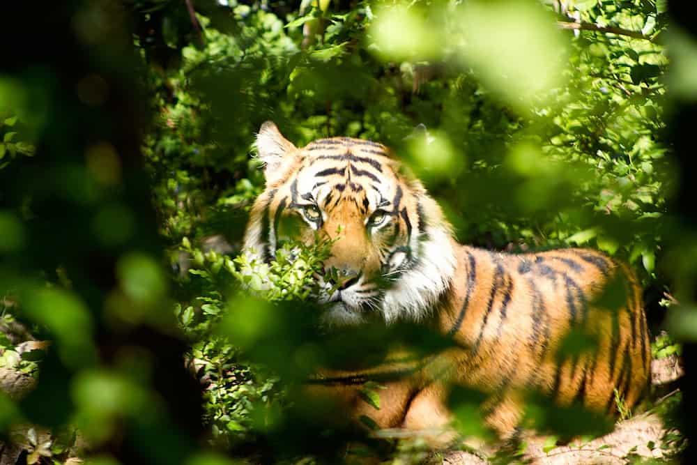 tiger through green leaves